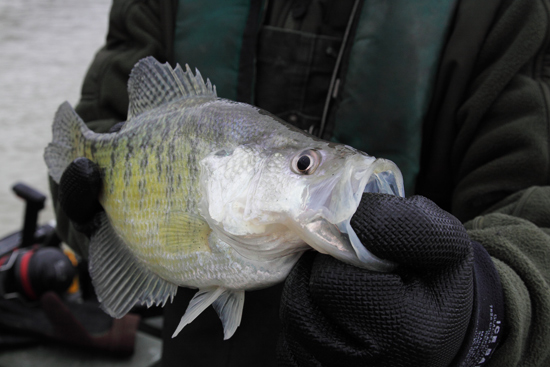 Crappie stockings add to great fall fishing for Crappie fishing in ky